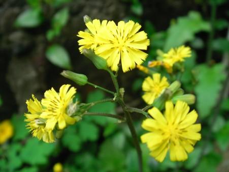 タンポポ?のような黄色い花の雑草