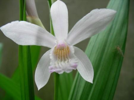 白い紫ラン(シラン)